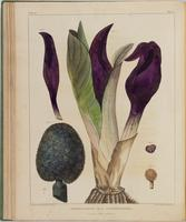 BartonV1_Table 11: Symplocarpus var. β Angustispatha. (Purple Skunk-cabbage.)